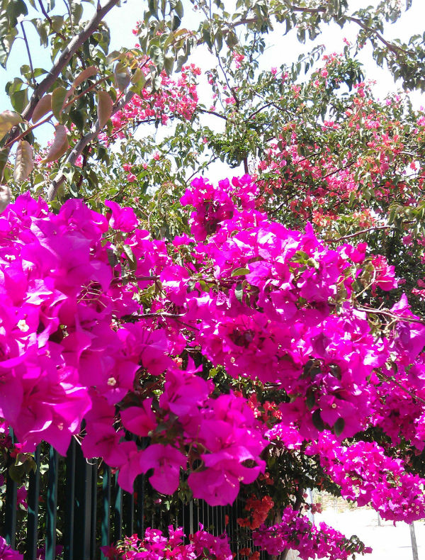 Bright pink bougainvillea flowers from Mocha