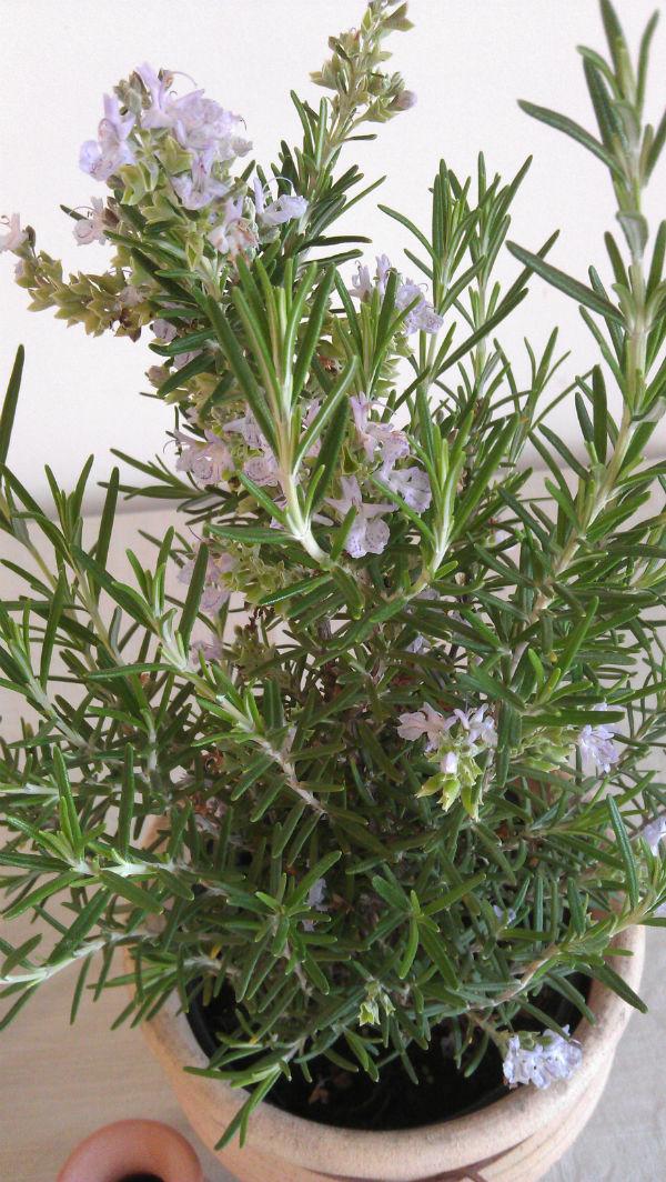 Rosemary plant - Mocha