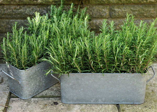 Rosemary planters