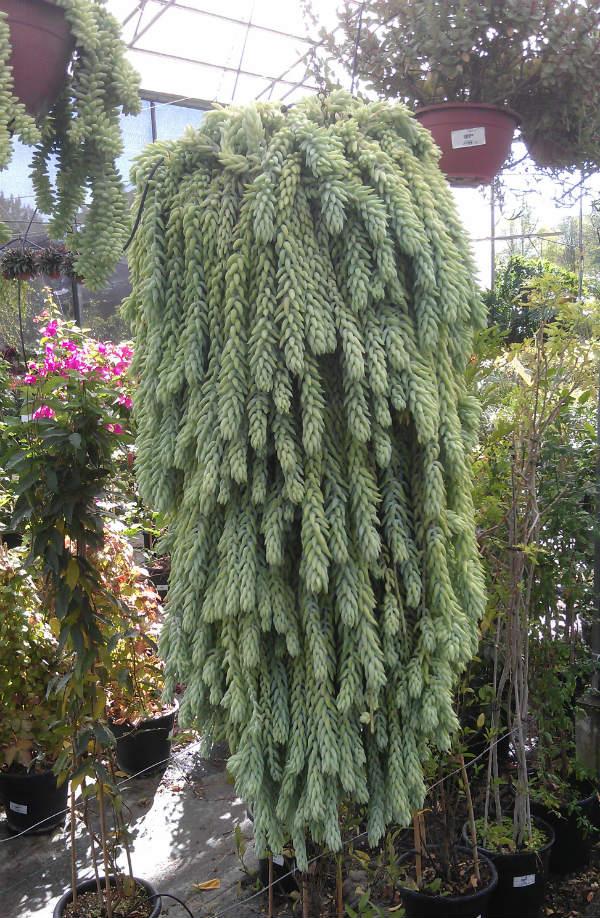 Succulents - Seddum Burrito - Mocha