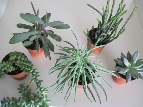 Succulents - Mocha