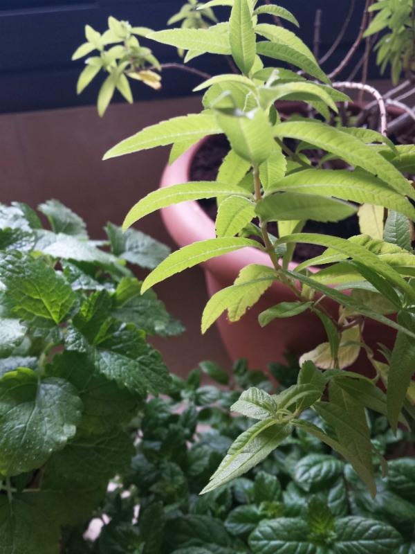 Fresh herbs for herbal tea