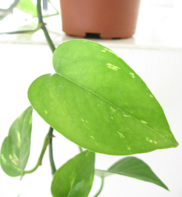 Urban Jungle Bloggers: Botanical zoom - a close up of the leaf on a pothos plant