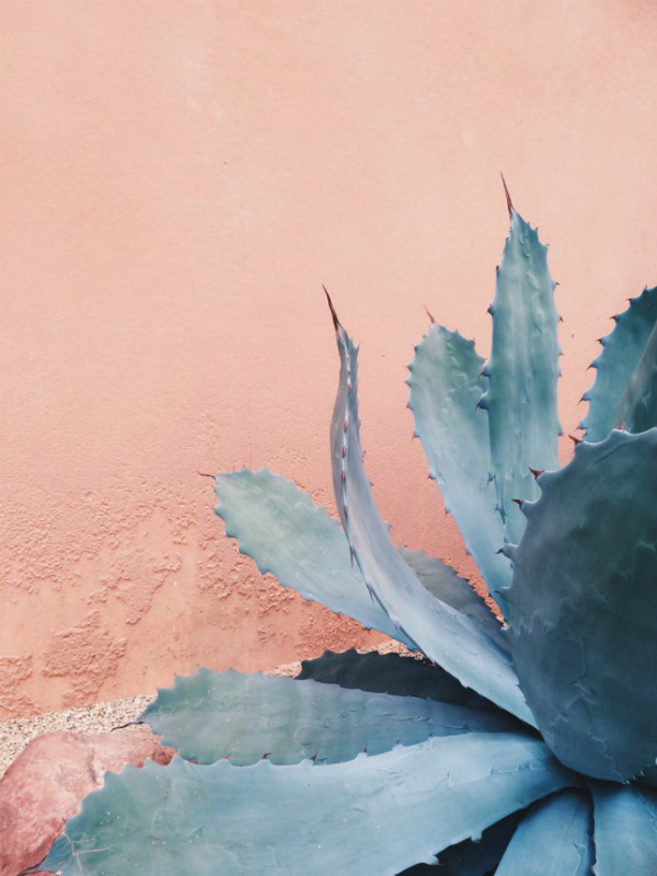 Cactus set against a rose quartz plaster wall